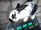 Продам кролика самочка бабочка строкач