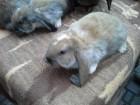 Кролики порода французский баран