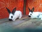 Кролики бабочка-строкач (два месяца)