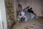Продам кроликов мясных пород (НЗБ, БСС)