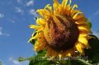 —емена подсолнечника  –ембо (до гранстару)