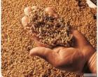 ѕродам солод пшеничный