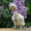 цыплята мясо-яичные, Голошейки, Доминант, Браун Ник , от производител