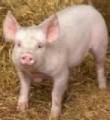 БВМД для свиней Феркель-старт 25% для поросят от 10 до 30 кг