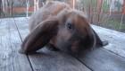 Продам кроликов французский баран