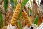 Высокоурожайная Канадская кукуруза ДжХост