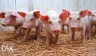 Комбикорм для свиней Старт от 10 до 30 кг
