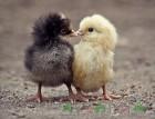 Полнорационный корм для цыплят бройлеров.