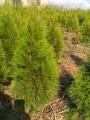 Туя Смарагд. Хвойні рослини. Хвойные растения