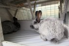 Продам кроликов на племя породы Большое Светлое Серебро (БСС)