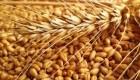 Закуповуємо фуражну пшеницю