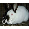 Калифорнийская порода кролика(мясная)