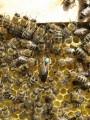 Пчёлы карпатской породы
