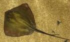 Скат черноморский