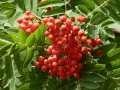 ѕродам р¤бину красную, плоды сушенные