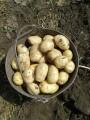 Молодой картофель оптом.Ривьера/Минерва