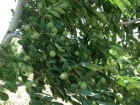 Саженцы грецкого ореха сорт Chandler