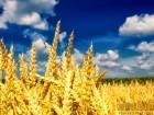 Куплю фуражну пшеницю урожаю 2017 року