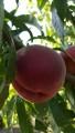 Продам персик редхевен