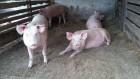 Продам домашні свині