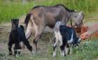 Козлики 100% Американская Ламанча на племя