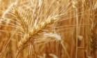 Продам семена озимой пшеницы Артемида (Элита), ВНИС