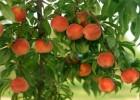 Закупаем персики оптом