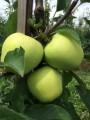 ФГ продасть яблуко урожаю 2016 року