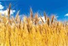 закупаю пшеницу,ячмень,лен,кориандр