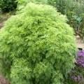 саженцы божье дерево(укропное дерево)