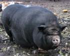 продам вьетнамских свиней