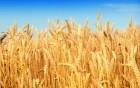 Продам семена пшеницы Журавка