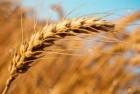 Продам семена пшеницы Зорепад