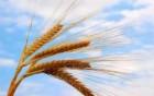Продам семена пшеницы Литановка