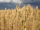 Семена пшеницы Фаворитка