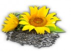 Сорт соняшнику СУР (72-75 дн) ультра скоростиглий