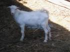 Продам комолого породистого козла
