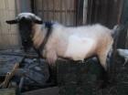 Продам породистый комолый козел-производитель