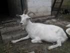 Продам хорошую козу