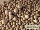 Посівний матеріал часнику Любаша - однозубка, повітряні кульки