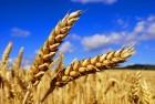 Куплю пшеницу фуражную
