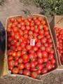 Продам помидор оптом, самая сочная цена!