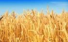 Продам пшеницу 4 класс
