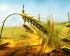 -Реализуем высокоурожайные сорта озимых ячменя,пшеницы,рапса-