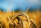 Куплю пшеницу фуражную 4,5,6 класса