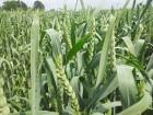 ѕродам нас≥нн¤ пшениц≥ ƒагмар (Limagrain)