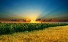 Продам озиму пшеницю,ячмінь насіння соняшника і кукурудзи