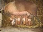 продажа поросят мясных гибридов