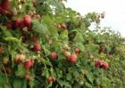 Продам саженцы элитных сортов малины