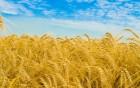 Компанія закупляє зернові по високим цінам!